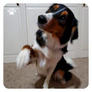 Почему собаки поднимают переднюю лапу?