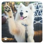 Why dog lifts their paw