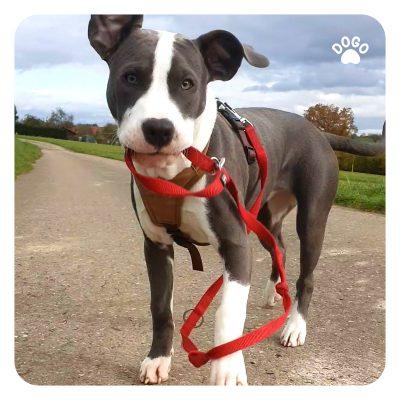 Pies zbyt podekscytowany spacerami