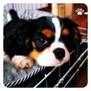Dlaczego Pies Wyje i Jak Sobie i Tym Radzić