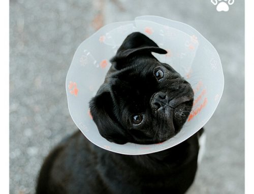 Spaying or Neutering Your Dog? Here's What To Expect