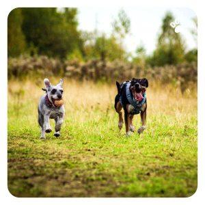 Les chiens surexcités